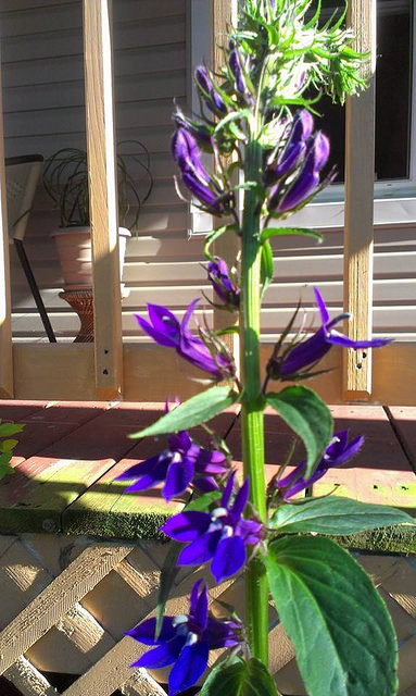 Lobelia in bloom