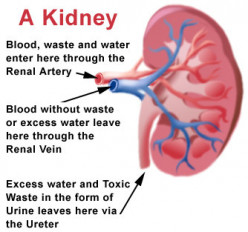 The Basics of Kidneys and How They Function