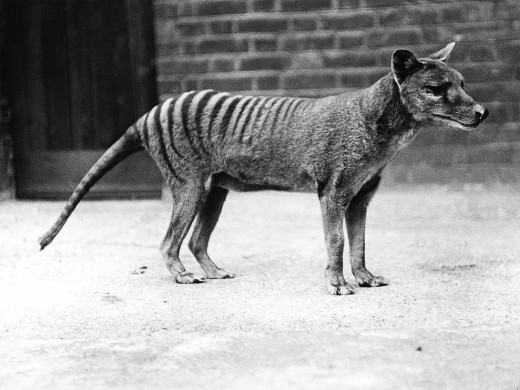 Some Tasmanian tigers were kept in zoos before they became extinct
