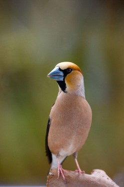 The Hawfinch {Birds of Europe}