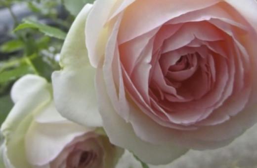 Rosa Pierre Ronsard