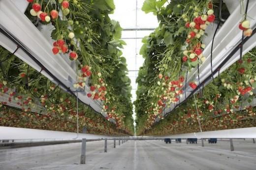 vertically-grown strawberries