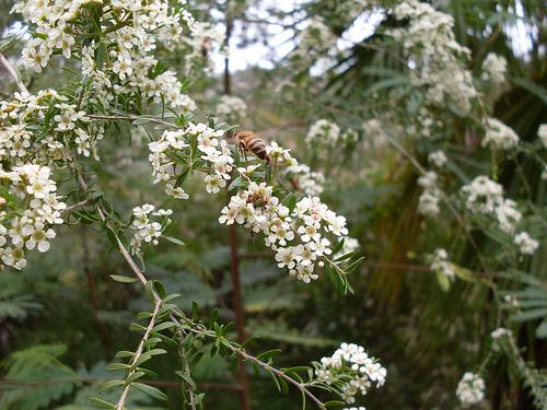 Manuka Bush or Tea Tree