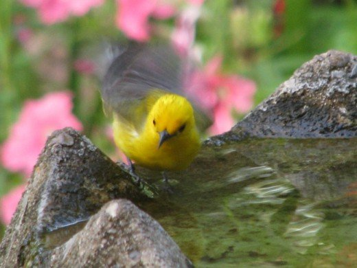 A male Prothonotary warbler flutters in the bird bath.