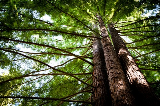 The redwoods of UC, Santa Cruz are a perfect place to take a long walk