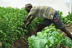 THE POTENTIAL AND CHALLENGES OF CROP AGRICULTURE IN TURKANA COUNTY, KENYA. A case study of Kaikor Location.
