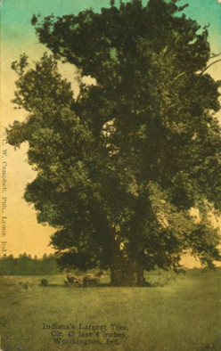 The Giant Sycamore Tree of Worthington Indiana