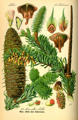 The siver fir (Abies alba) one several evergreen trees worshiped in pagan history.