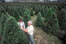 A Christmas tree farm in USA.
