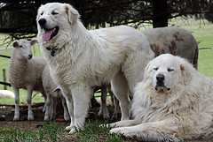 Two Great Pyrenees guarding a flock of sheep.