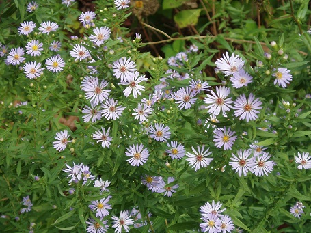 Purplish-blue native asters cover the fields and roadsides of Southeastern Louisiana.