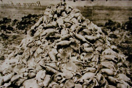 Poisoned prairie dogs in Arizona around 1900