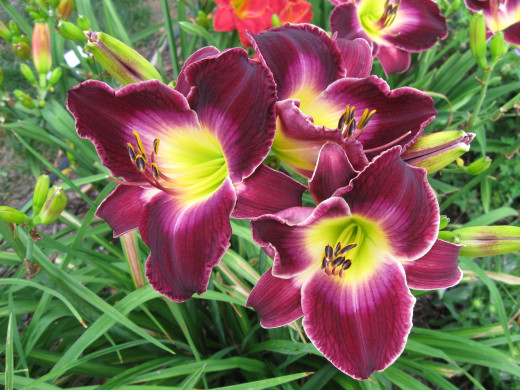 Shirley's Pick (Nyikos 2005) This was my first daylily with a watermark.