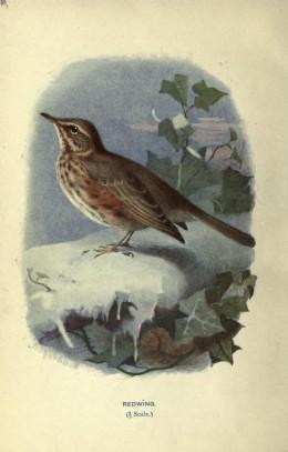 Familiar Wild Birds. Swaysland 1883. Courtesy of the BHL.