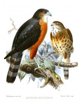 Accipiter virgatus