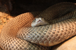 Cobra, Indian Cobra or Spectacled Cobra, Naja naja, Family: Elapidae