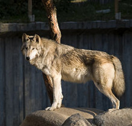 wolf in Spanish zoo