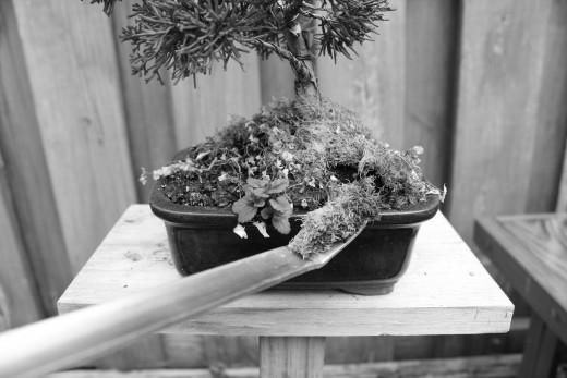 Spatula end transplanting moss.