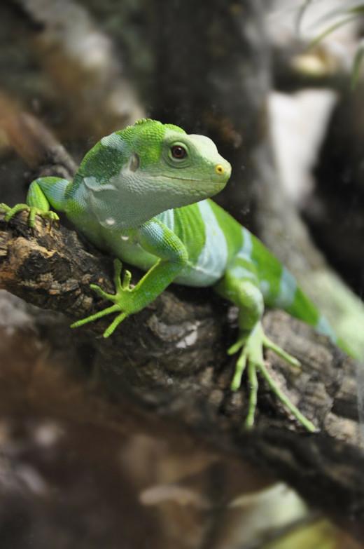 Iguana at Kula Eco Park