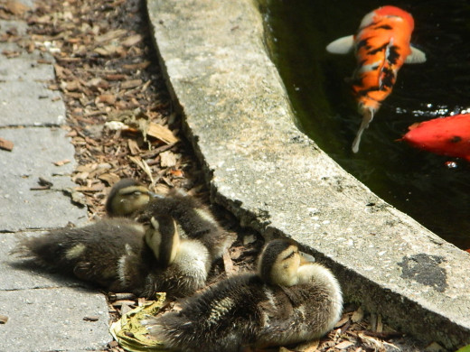 Marie Selby Gardens Sarasota Florida    Momma Duck was just to the right..watching over her babies