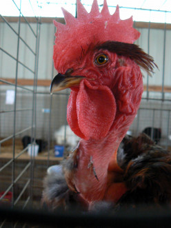 Turken chicken breed are motherly and hardy.