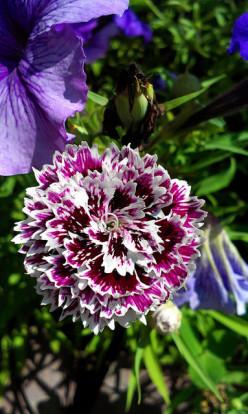 Plant Spotlight: Dianthus