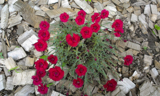 "Dianthus ""Fire Star"""