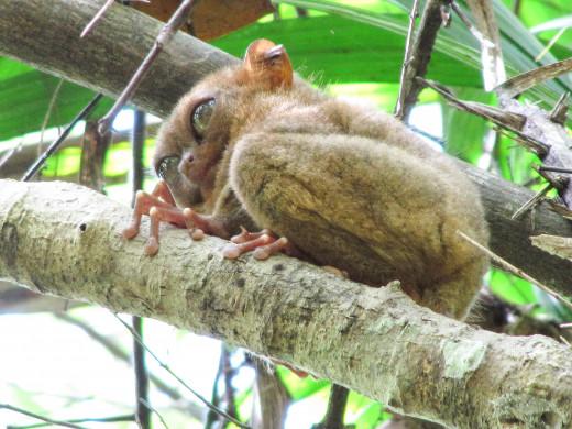 A Philippine tarsier