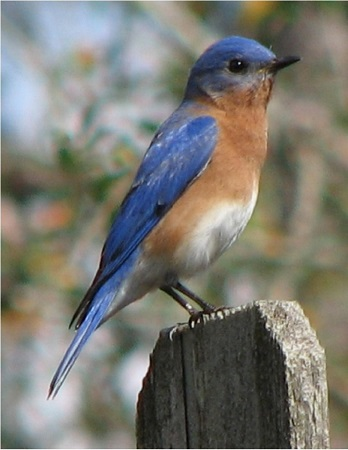 Eastern Bluebird Male watching over his mate.
