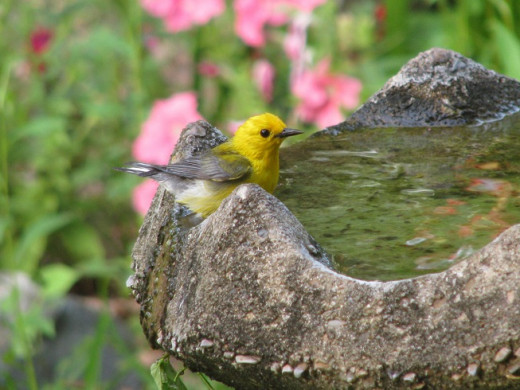 Prothonotary Warbler Bathing in the birdbath. These uncommon birds live and nest near water.