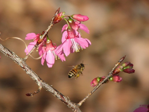 A Honey Bee visits Taiwan Cherry Blossoms.