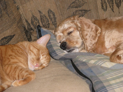 Dax cat and Chance the Cocker Spaniel share a nap.