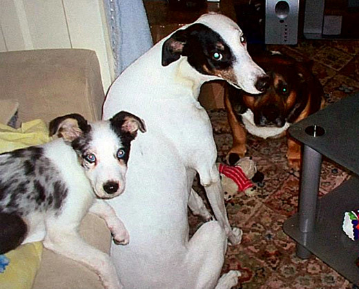 Blue the collie, when he was a puppy, with his older pals, Bracken and Buster.