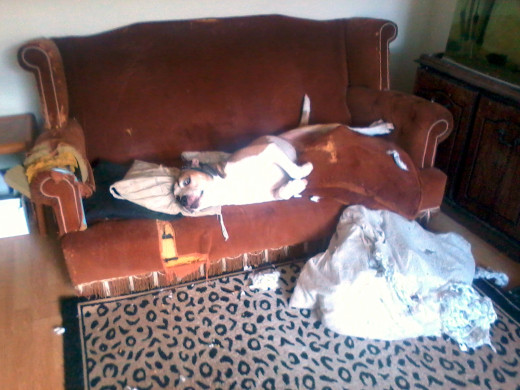 Happy Buster the dog at the 'crime scene' ... with a cushion he had just trashed.