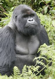 Gorillas are thinking animals.