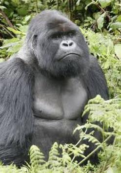Gorillas are thinking animals.