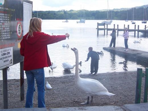 Handfeeding the Swan