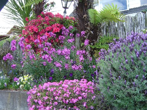 Lavender and Wallflowers with rhododendron behind.