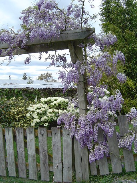 Glorious Wisteria with white Lacecap Hortensia