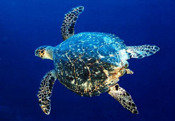 Endangered Species Profile: The Hawksbill Sea Turtle.