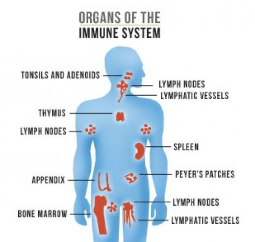 Organs of Immune System