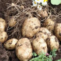 Potatoes, Grow Them, Cook Them, Enjoy