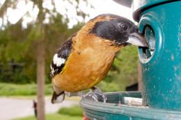 Pheucticus melanocephalus male Birds of Vancouver
