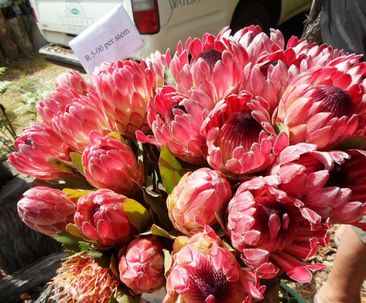 Proteas for sale at The Wild Oats Farmer's Market, Sedgefield, South Africa