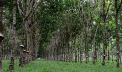 Facts about the Rubber Tree - Description and Uses