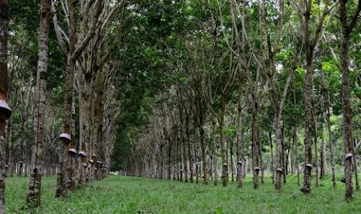 Rubber Trees (Hevea brasiliensis)