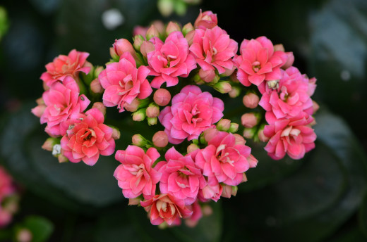 Kalanchoe succulent with bright pink flowers from the Train and flower show.