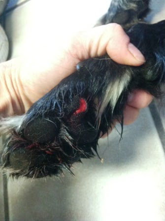 Often painful and bloody, foot pad lacerations are usually superficial, and most vets will only bandage it.