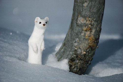 Weasel in Winter-White Camouflage