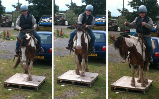 A young horse learns how to step up on to a low platform for the first time one step at a time